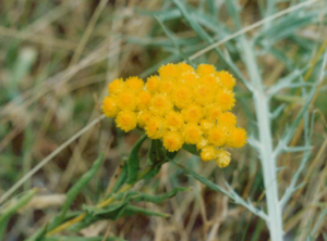 helichrysum by candiru @ Flickr
