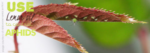 Control aphids with Lemon essential oil from doTERRA