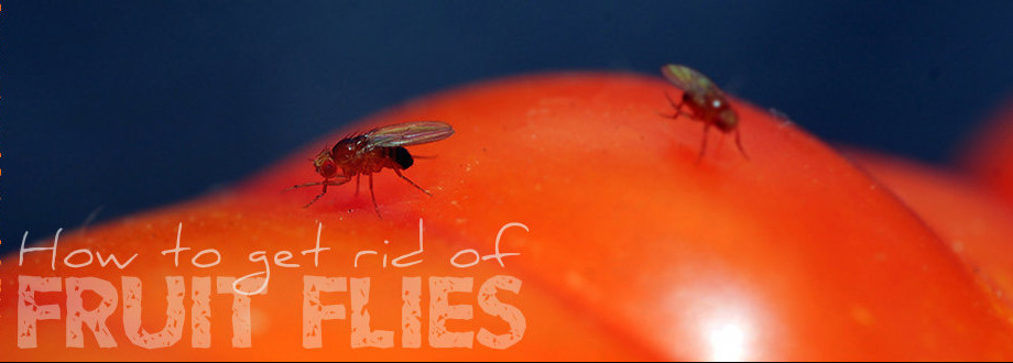 How to get rid of fruit flies naturally using doTERRA Essential oils