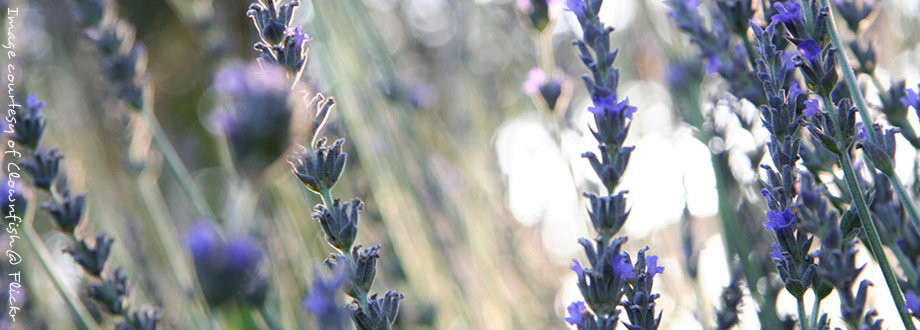 Fields of beautiful lavender, by Clownfish @ Flickr