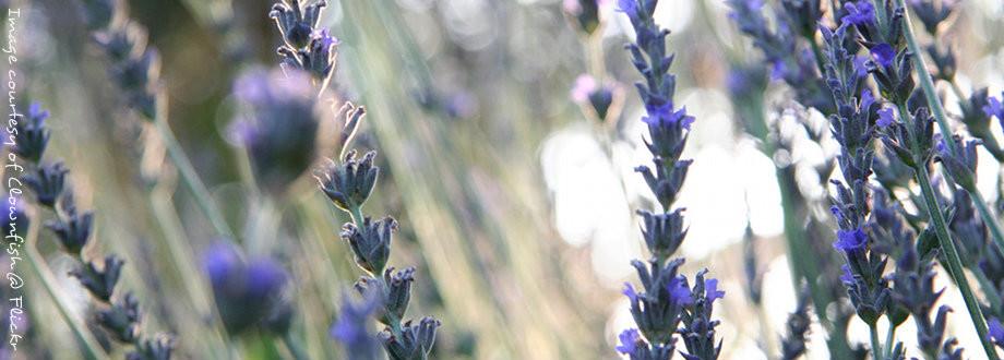 Fields of beautiful lavender, by Clownfish @ Flickr
