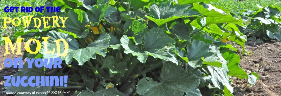 Get rid of white powder mildew or mold on your zucchini plant naturally!